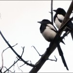 Two Magpies - 366 Days Photography Project